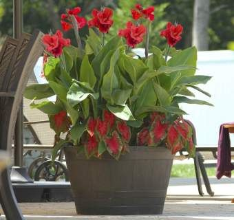 HOW TO: Grow Summer Bulbs in Containers