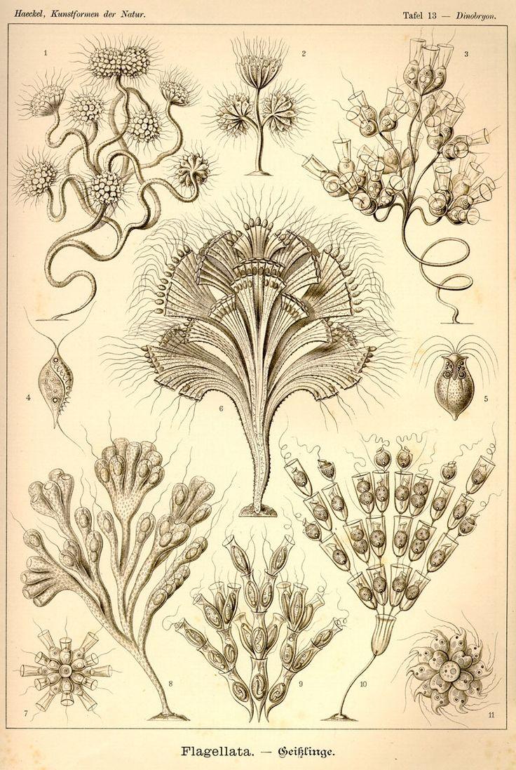Flagellata by Ernst Haeckel; Kunstformen der Natur, 1900
