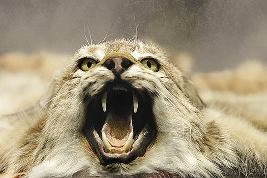 Lynx - Close Up by George Westermak#George Westermak#FineArtPrints#Pets#wild animals