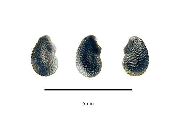 http://www.ars-grin.gov/npgs/images/sbml/Cereus_hankeanus_seeds.jpg
