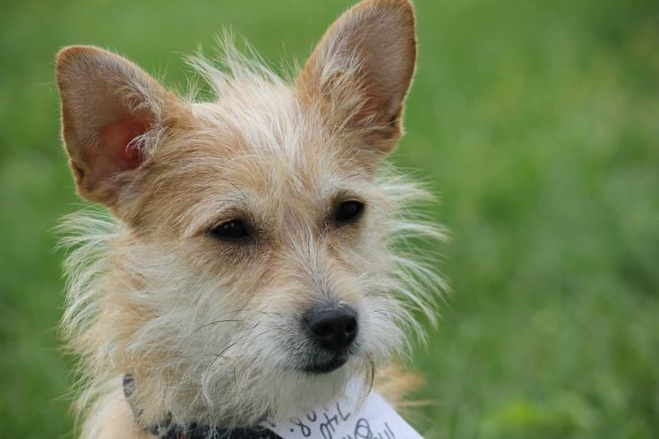 Lacy - For the Love of Paws Animal Rescue