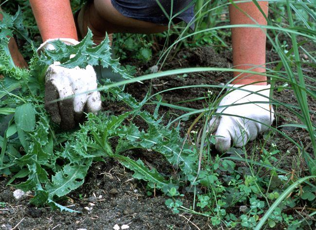 Des mauvaises herbes envahissent votre jardin et vos allées ? Comment les éliminer sans produit nocif ? Désherbage manuel, eau bouillante, bâche pour recouvr...