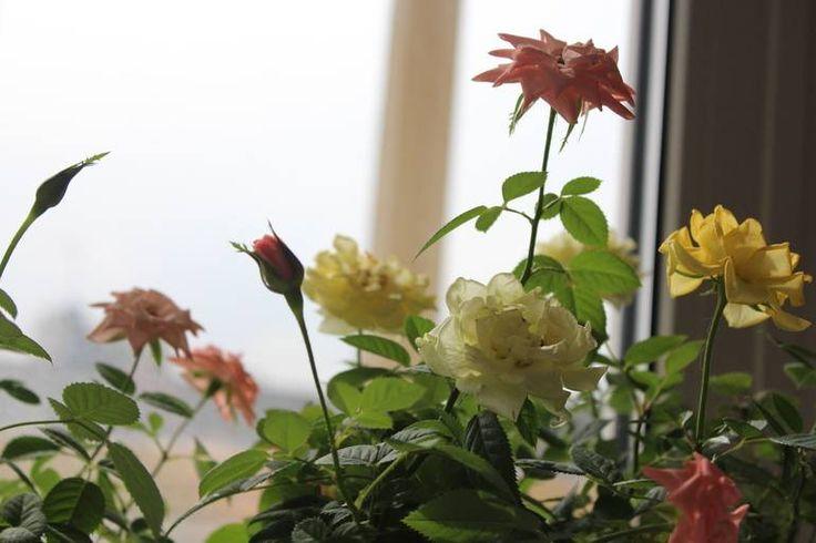 Так они цветут уже через месяца 2 после покупки. Радости моей нет предела, потому что впервые в жизни у меня выжили розы, а не пришлось выкидывать после цветения магазинных бутонов. Воспользовалась всеми советами, которые тут давали, а именно: обрезала все бутоны, которые были...