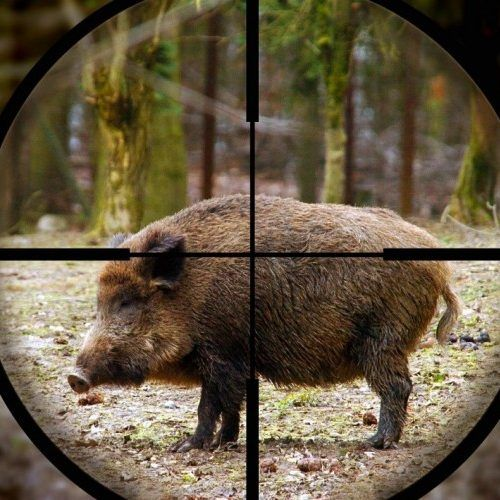 Hog and Pig Hunting minutes from DFW. Thousands of acres, tons of hogs and pigs that need to go. Book now.