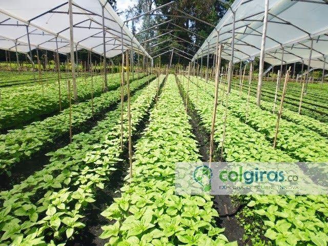 Cultivo de Girasoles, Sabana de Bogotá