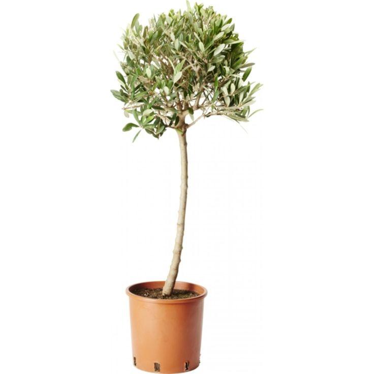 Oliventre på stamme