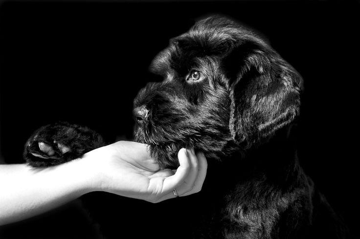 Zigamund 10 weeks - Black Russian Terrier puppy