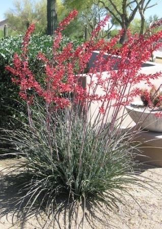 This Southwest native has tall spikes holding deep rose-pink flowers almost year-round and is at home in a desert garden. Description from ebay.com. I searched for this on bing.com/images