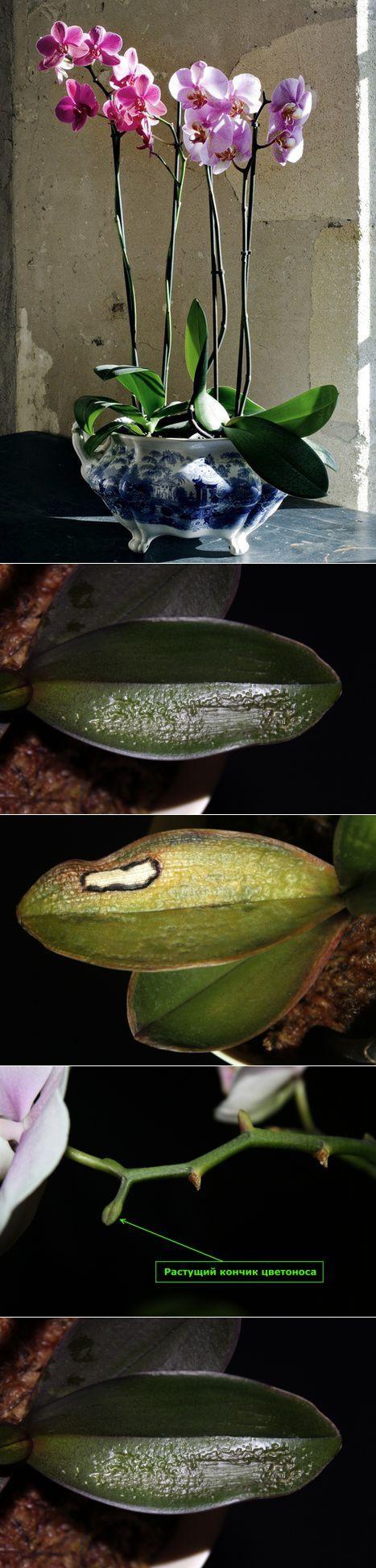 Орхидеи - секреты выращивания.