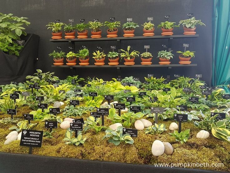 Hogarth Hostas were exhibiting at the RHS Chelsea Flower Show for the first time in 2016. The RHS judges awarded Hogarth Hostas a Silver-Gilt Medal for their fantastic display of small and miniature Hostas. Pictured at the RHS Chelsea Flower Show 2016.