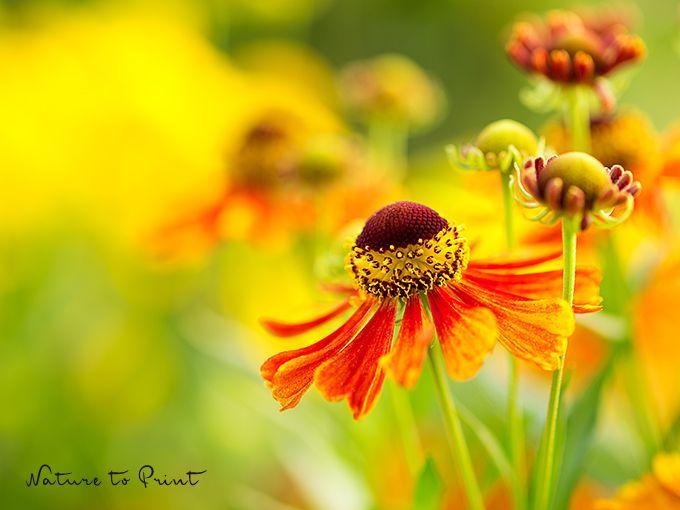 Die Sonnenbraut: leichte Aussaat – lange Blütenpracht.