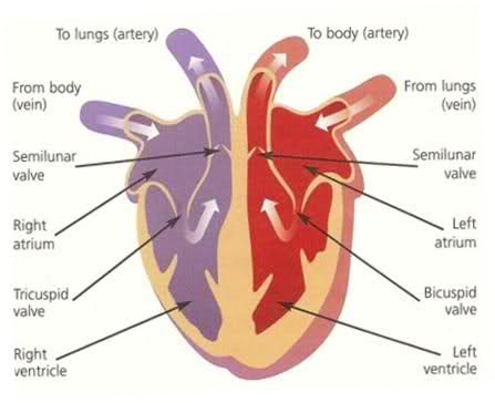 Human Heart Diagram for Kids | Physical Education ...