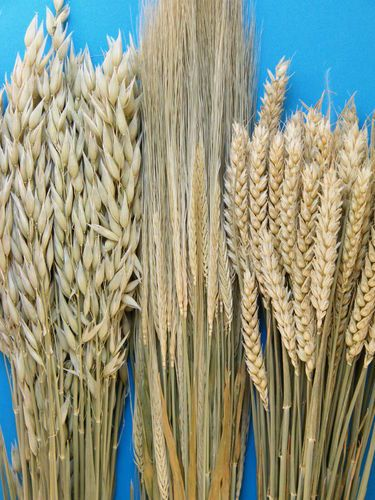 Dried oats