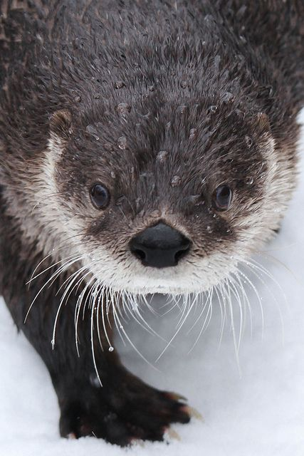 Nero - North American River Otter @ Cincinnati Zoo