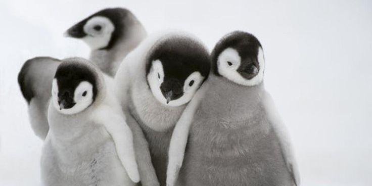 【触りたい】赤ちゃんペンギンは、みんなで仲良く散歩する(モフモフ画像集) http://huff.to/1wRljFi