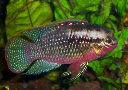 "Laetacara Dorsigera - ~2-3"" South American cichlid, changing colors indicates breeding conditions"