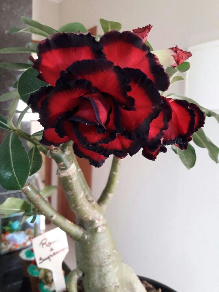 Find this Pin and more on Rosas del Desierto by fcovare63