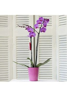 Phalaenopsis Orchid in ceramic pot ONLY 18.00€