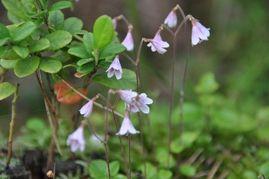 National Flower of Sweden - Linnaea borealis - Twin Flower