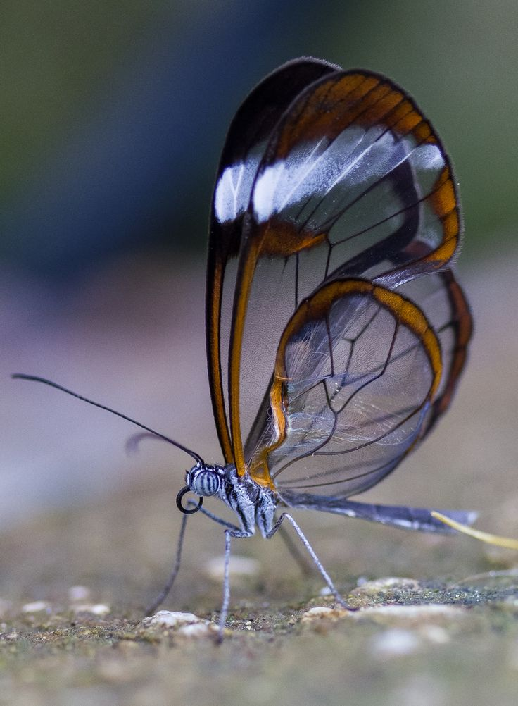 The glasswinged butterfly, another one of God's beautiful creations!!