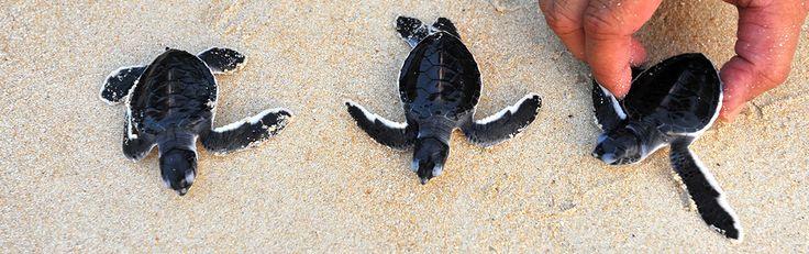 Nurserie de Tortues.  Le Sri Lanka est le refuge de 5 espèces de tortues marines sur les 8 qui peuplent les océans : la tortue verte, la tortue olivâtre, le tortu luth, la tortue imbriquée et la tortue caouanne. La tortue Luth est de loin la plus imposante, elle peut atteindre 3m pour 750kg. Cependant, elle est aussi la plus menacée. La côte sud-ouest du Sri Lanka est le lieu de ponte de nombreuses espèces.