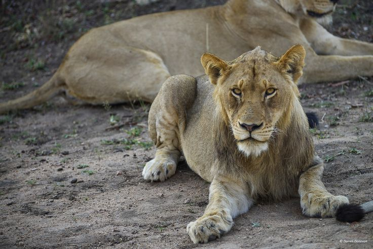A young Mbiri mail lion gives us the eye