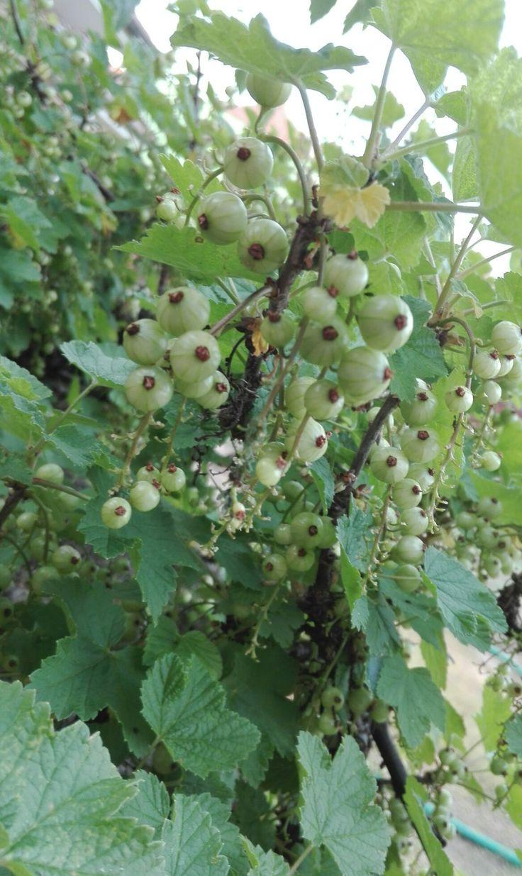 Ribíz Červený|latinsky= Ribes rubrum Místo focení: naše zahrada