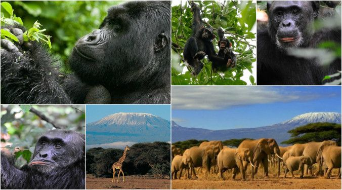 #UgandaSafaris is the best way to discover The Endangered Gorillas from under #AfricanBushes.