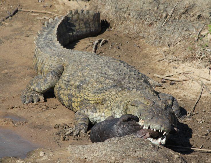 CROCODILE WITH HIPPO KILL