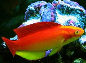 Hawaiian Flame Fairy Wrasse