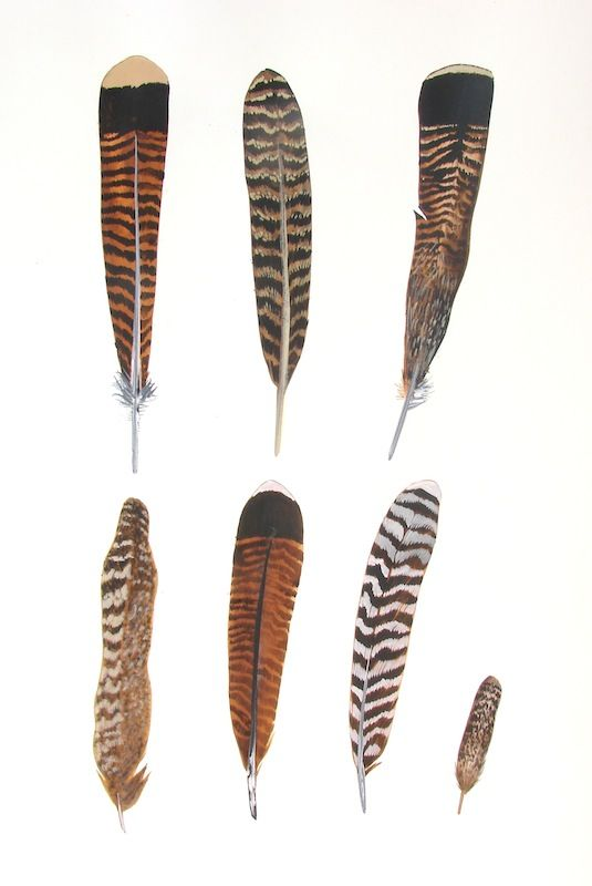 Happy Thanksgiving! Seven Turkey Feathers painting by Missy Hammond Dunaway.