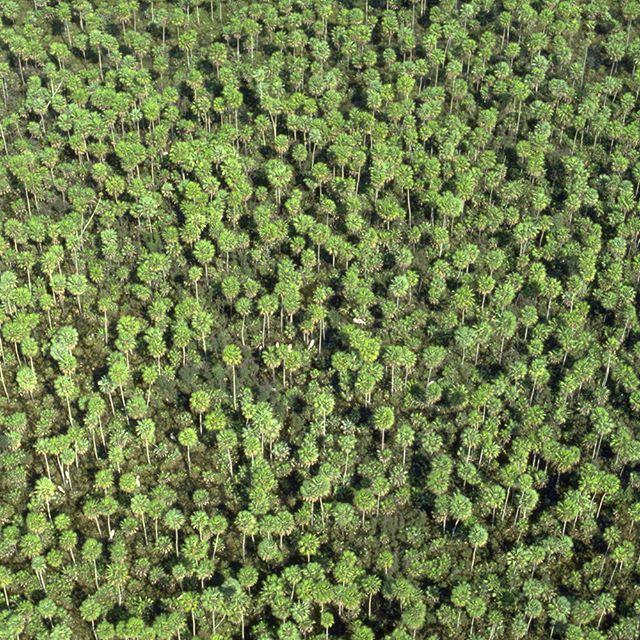 O carandazal é uma formação vegetal nativa do Pantanal brasileiro. É formada por palmeiras carandá, que dão nome a esse tipo de vegetação. Foto: Haroldo Palo Jr. #carandazal #pantanal #photooftheday #igersbrasil #instanature #instagood #nofilter #igdaily