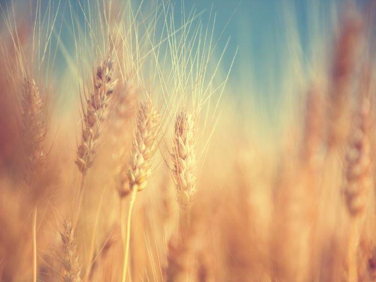 """Pregătirea pentru """"secerişul final"""""""