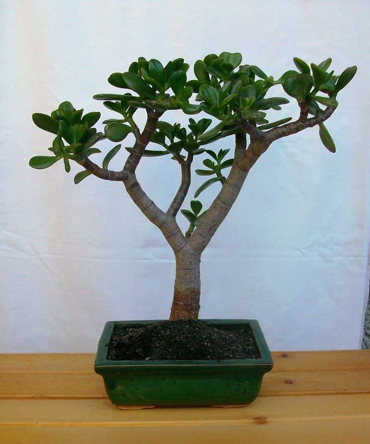 Crassula, Albero di giada. Bonsai. Collezione privata