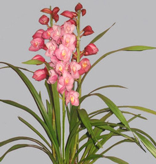 【Cym.バレーフラワー'ロマンシア'】ピンクの一輪一輪ボリュームのある、大輪大型品種です。直立仕立てで送料無料のキャンペーン商品になります。※写真は花見本です。商品ページ→ http://youran.shops.net/item?itemid=22405