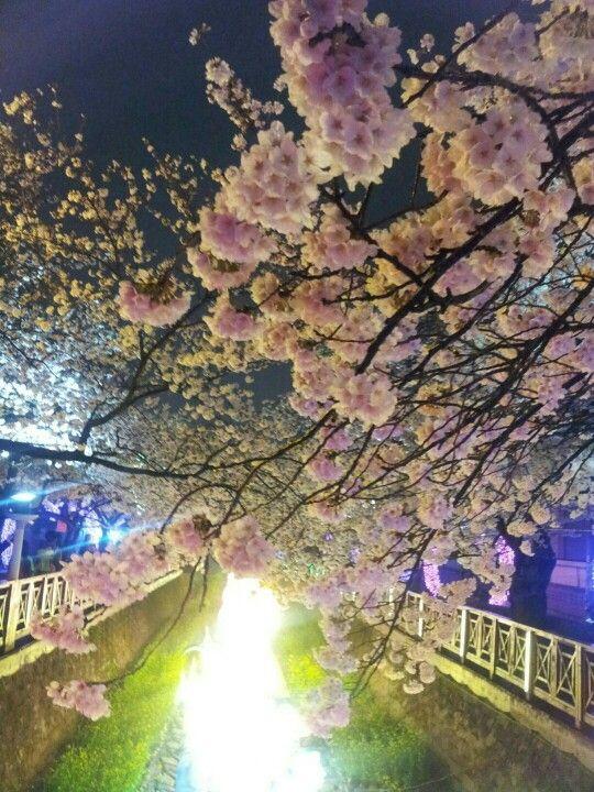 Plum TreeCherry BlossomsPink Blossom JapanPink FlowersReal FlowersOregonTattoo IdeasBeautiful Flowers