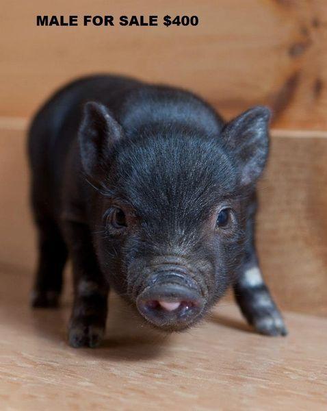 Kijiji: Teacup Mini potbelly pigs