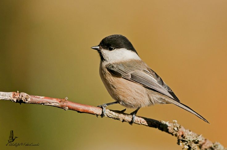 Marsh Tit  by Fabio Cucchi - #Birds #Cincia Bigia