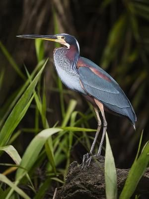 Agami Heron by maxine