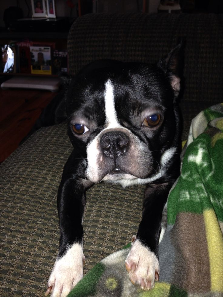 boxer and boston terrier mix 17 best ideas about boston terrier boxer mix on pinterest 5677