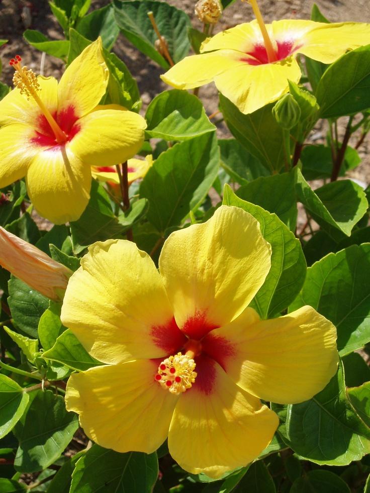 Yellow Ibiscus, photo taken by Aspasia P. at the Greek island Schinoussa (Minor Cyclades)