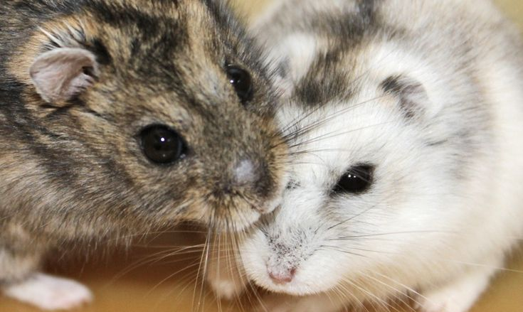 What Siberian hamsters tell us about seasonal clocks