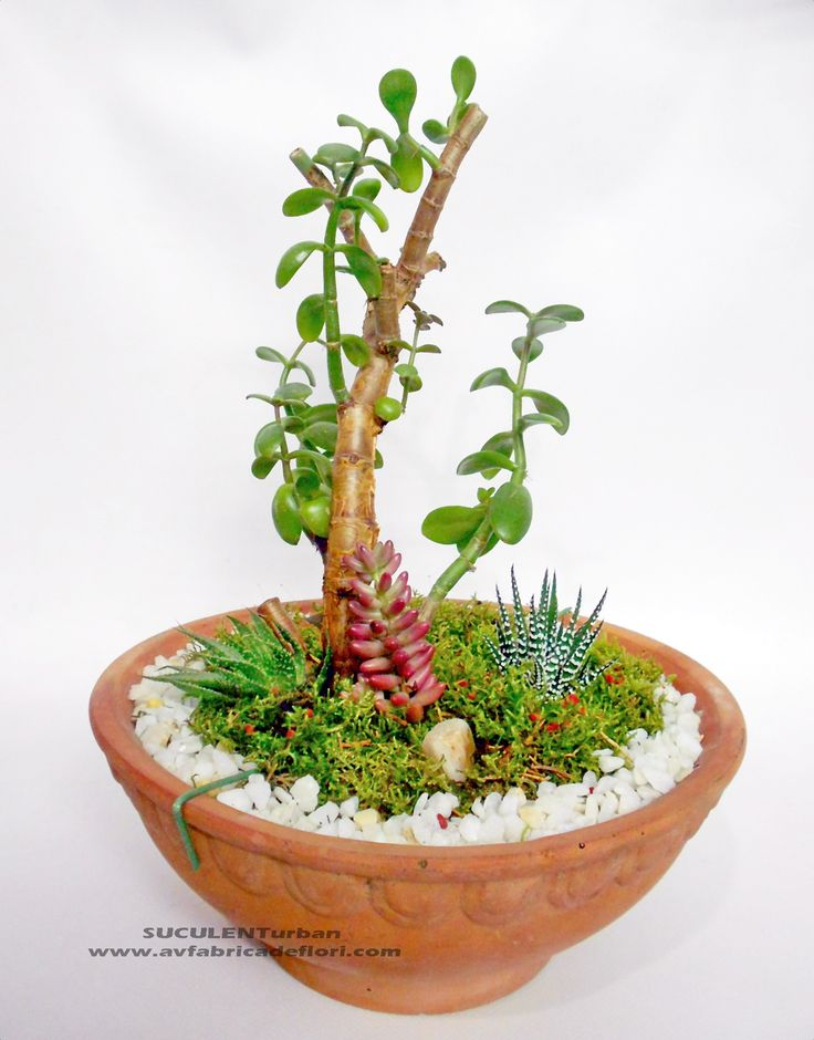 bonsai arbore de jad - crassula ovata si alte plante suculente , muschi decorativin vas ceramic - minigradina