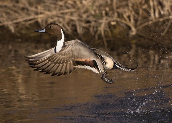 Northern pintail mount - photo#41