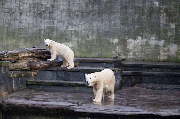 Eisbären im Rostock Zoo | Fiete und Eisbären Mutter Vilma im Rostocker Zoo – Dezember 2015 (c) FRank Koebsch