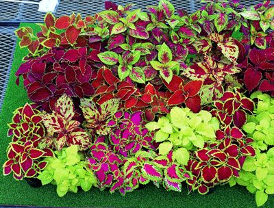 Coleus is so pretty and offers so many color choices.  How versatile.