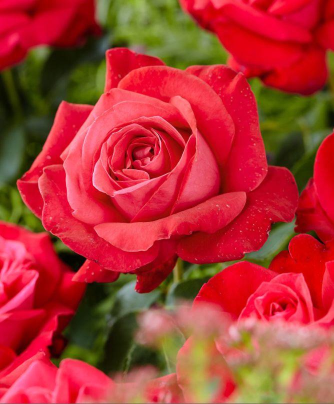 #rosa #grandiflora #damedecoeur #summer #estate #flowers #fiori #red #rosso