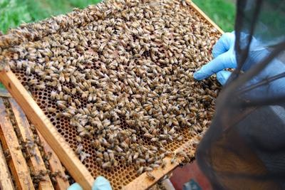 BEE PROPOLIS - ROYAL JELLY Benefits: HONEY is the beekeeper's main product, but there are several other useful substances produced by bees. Apitherapy is the practice of using bee products for therapeutic purposes. Propolis and royal jelly are two of apitherapy's most widely used substances. VARIOUS FORMS OF ROYAL JELLY and PROPOLIS are...