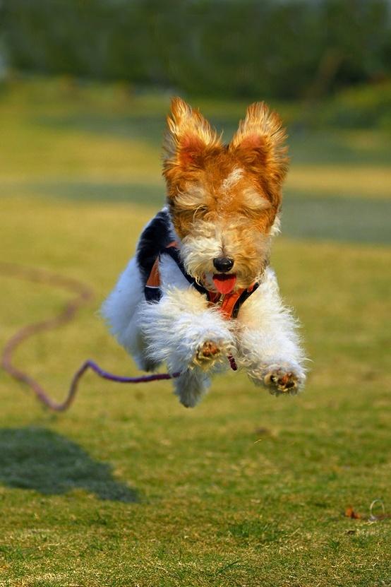 Fox Terrier. Saltos,Carreras,Nadar 03.19