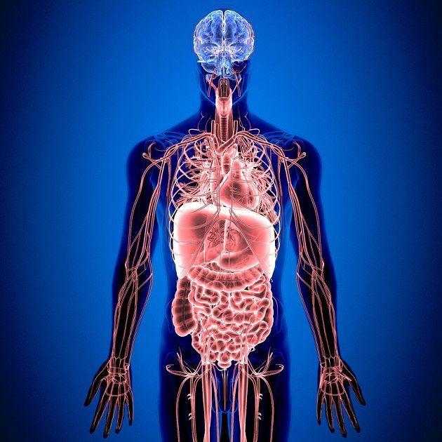 El sistema nervioso entérico, encargado directamente del aparato digestivo, es quizás la estructura más desconocida de las que forman el cuerpo humano.